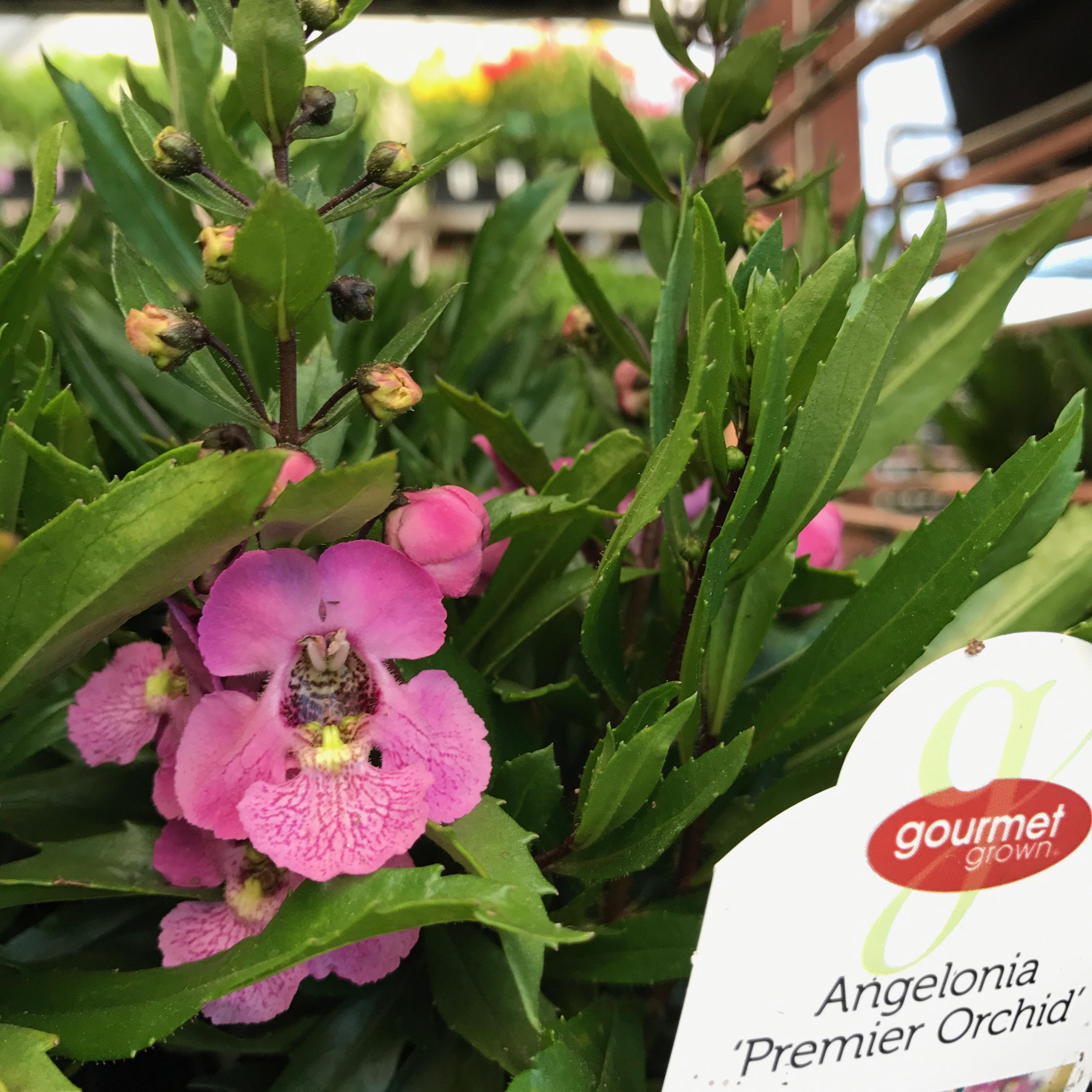 Angelonia Premier Pink  image