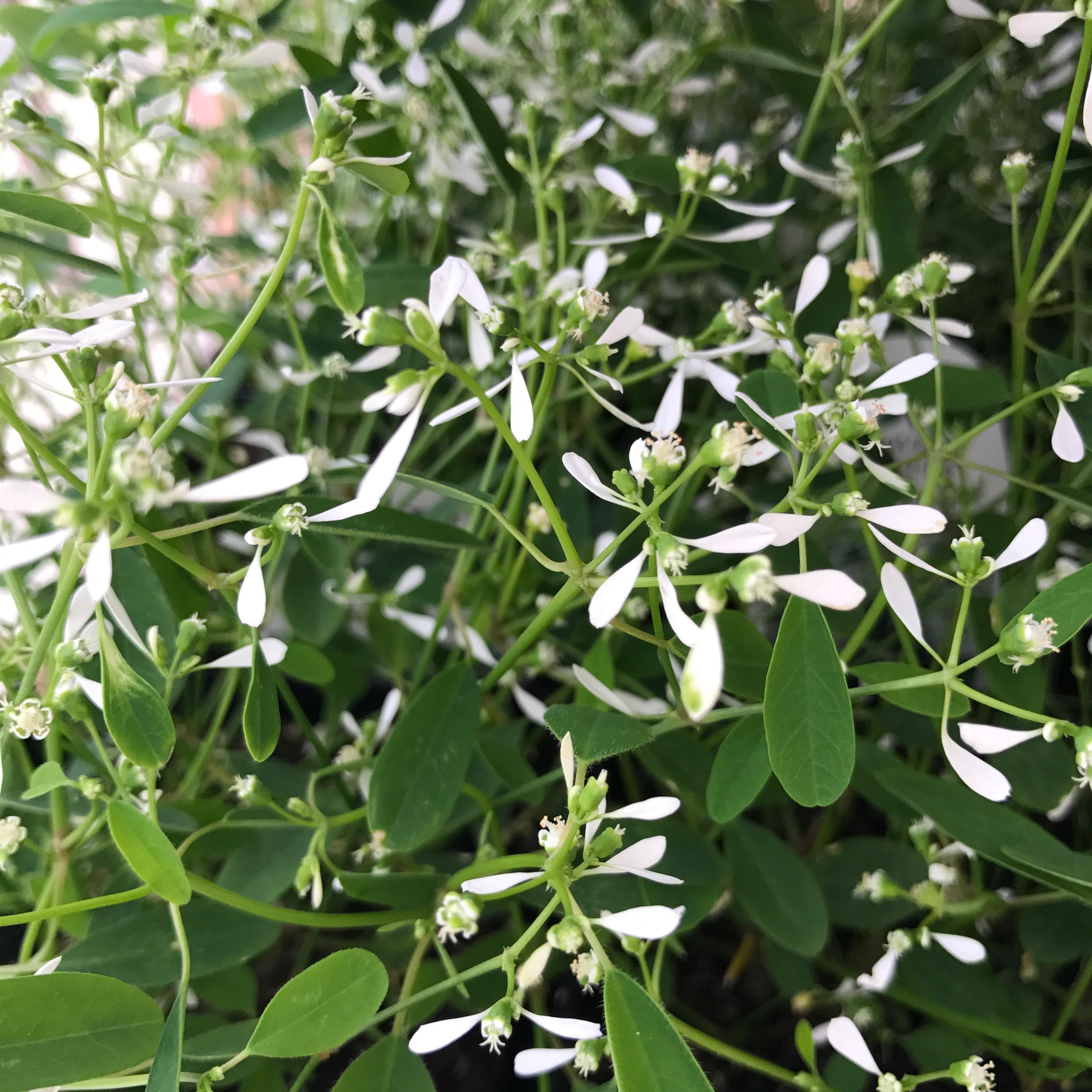 Euphorbia Diamond Frost image