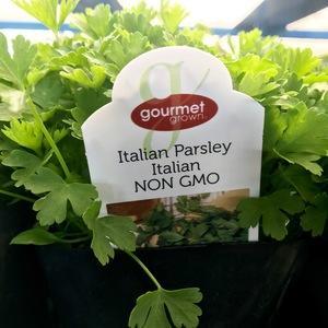Italian Parsley image