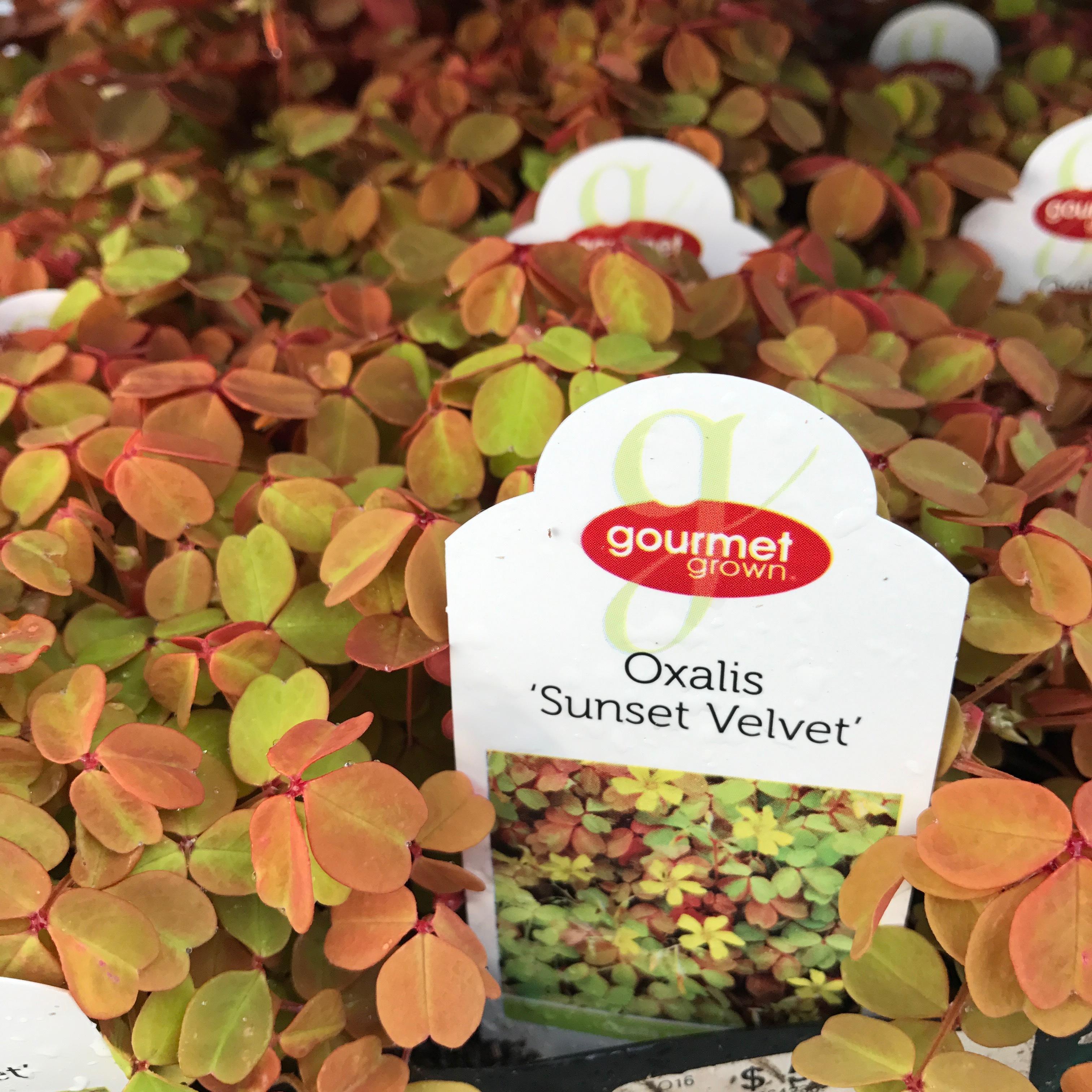 Oxalis Sunset Velvet image