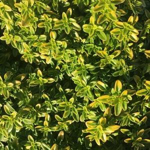 Thyme 'Lime' image