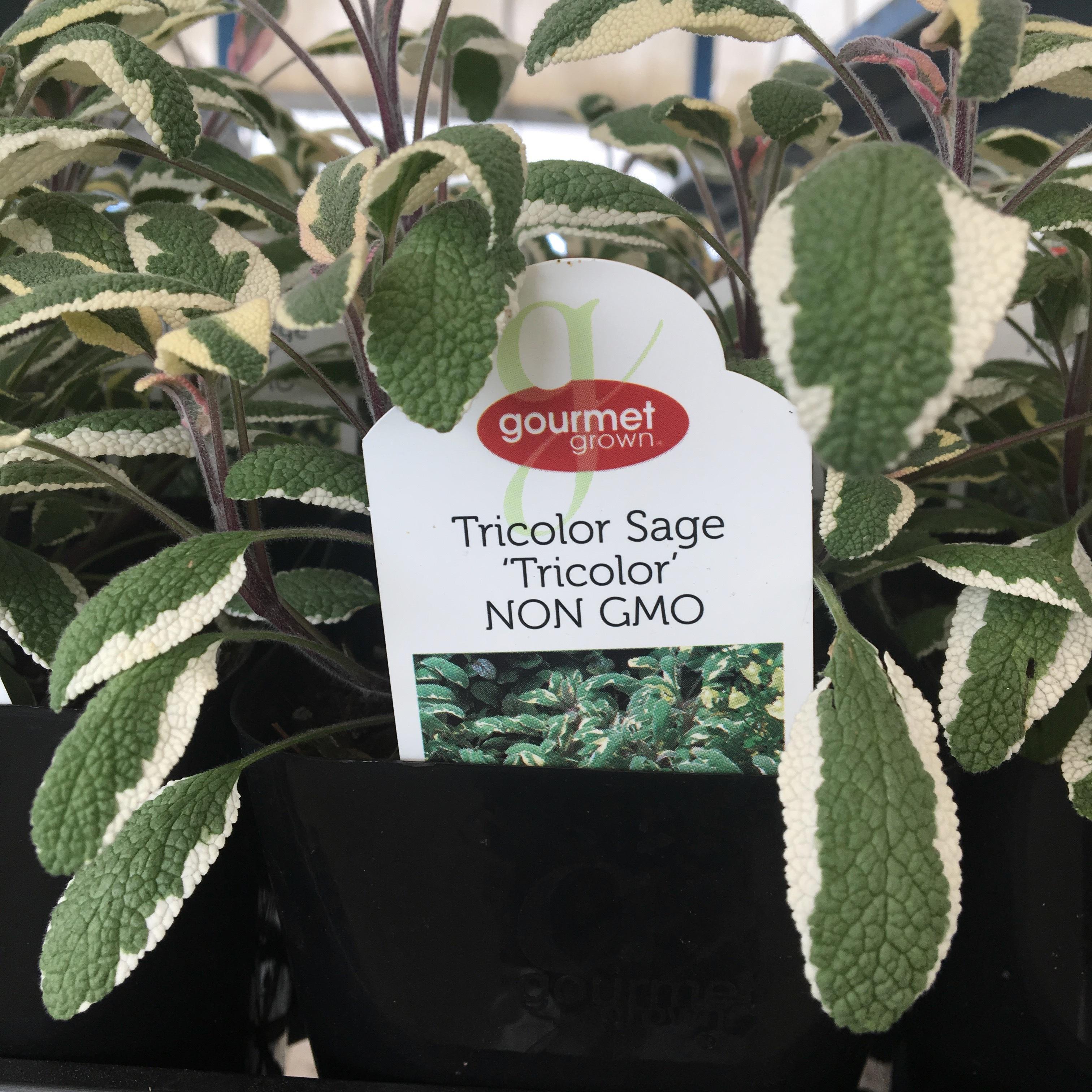 Tri Color Sage image