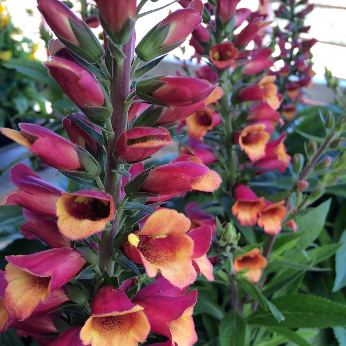 Foxglove Premier Color Nursery