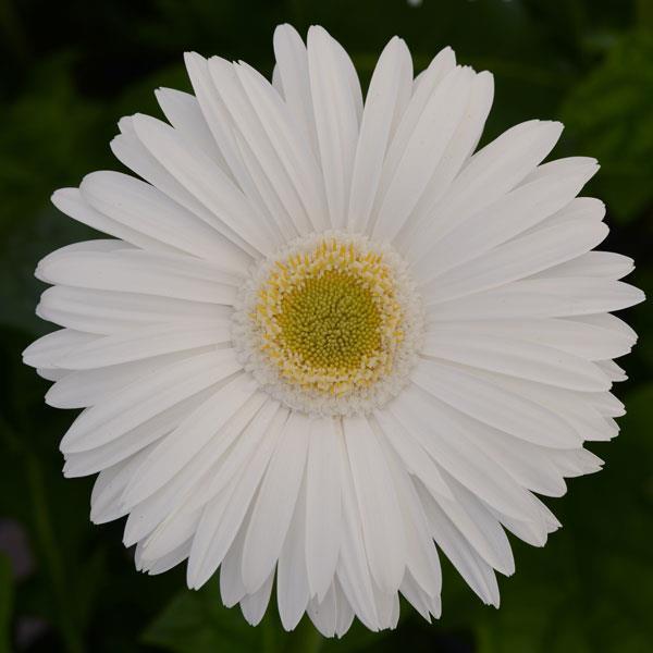 Gerbera Daisy image