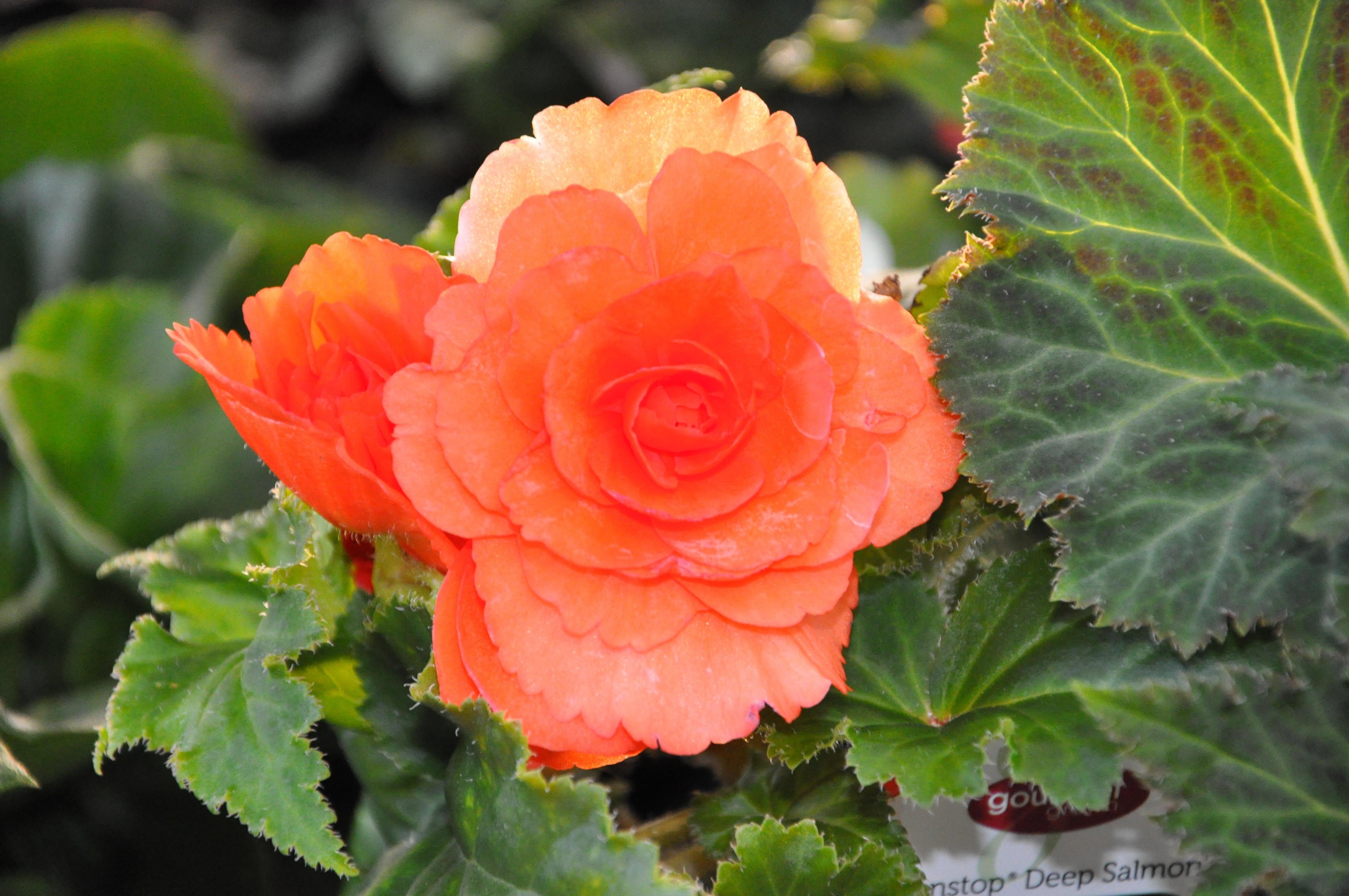 Begonia image