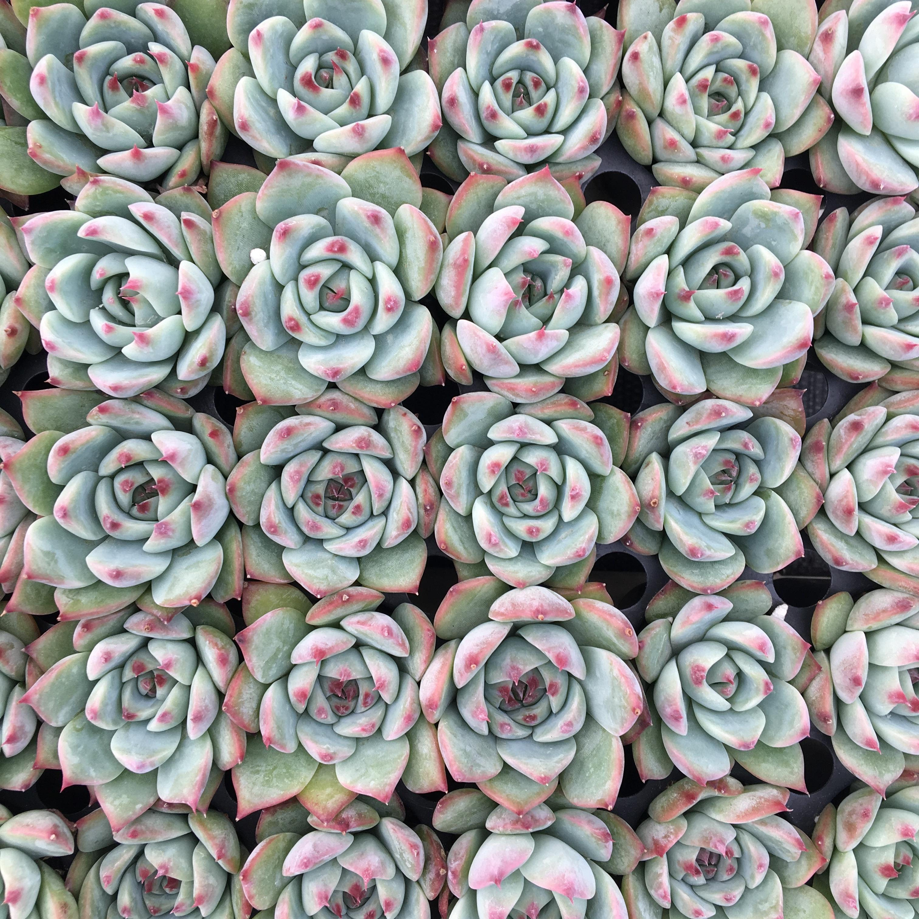 Echeveria Colorata E.Walther image