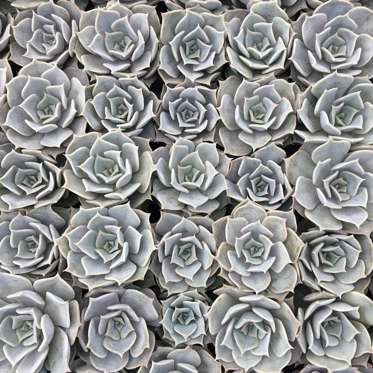 Echeveria Lilacina image