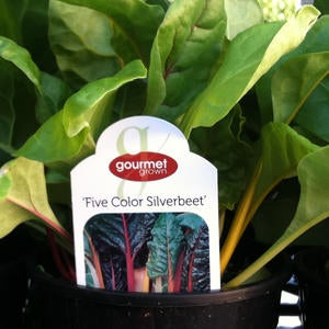 Five Color Silverbeet Swiss Chard image