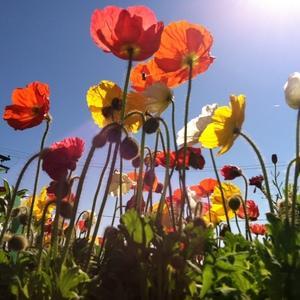 Iceland Poppy image