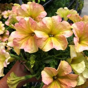 Petunia image
