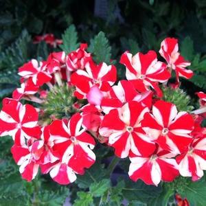 Petunia Crazytunia image