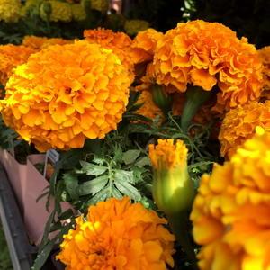 Marigold image