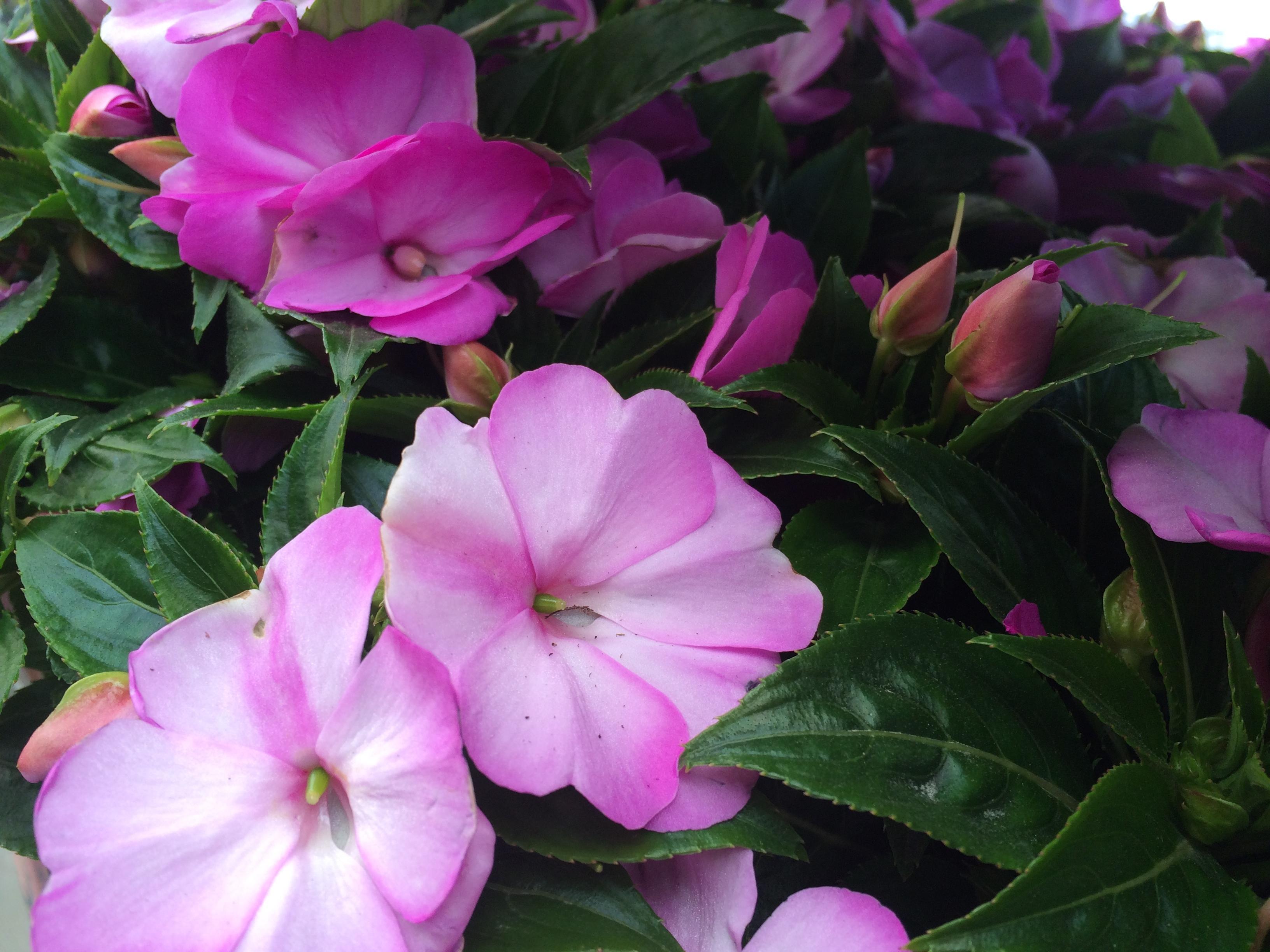 Impatien Pink image