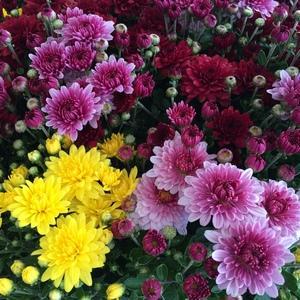 Garden Mum image