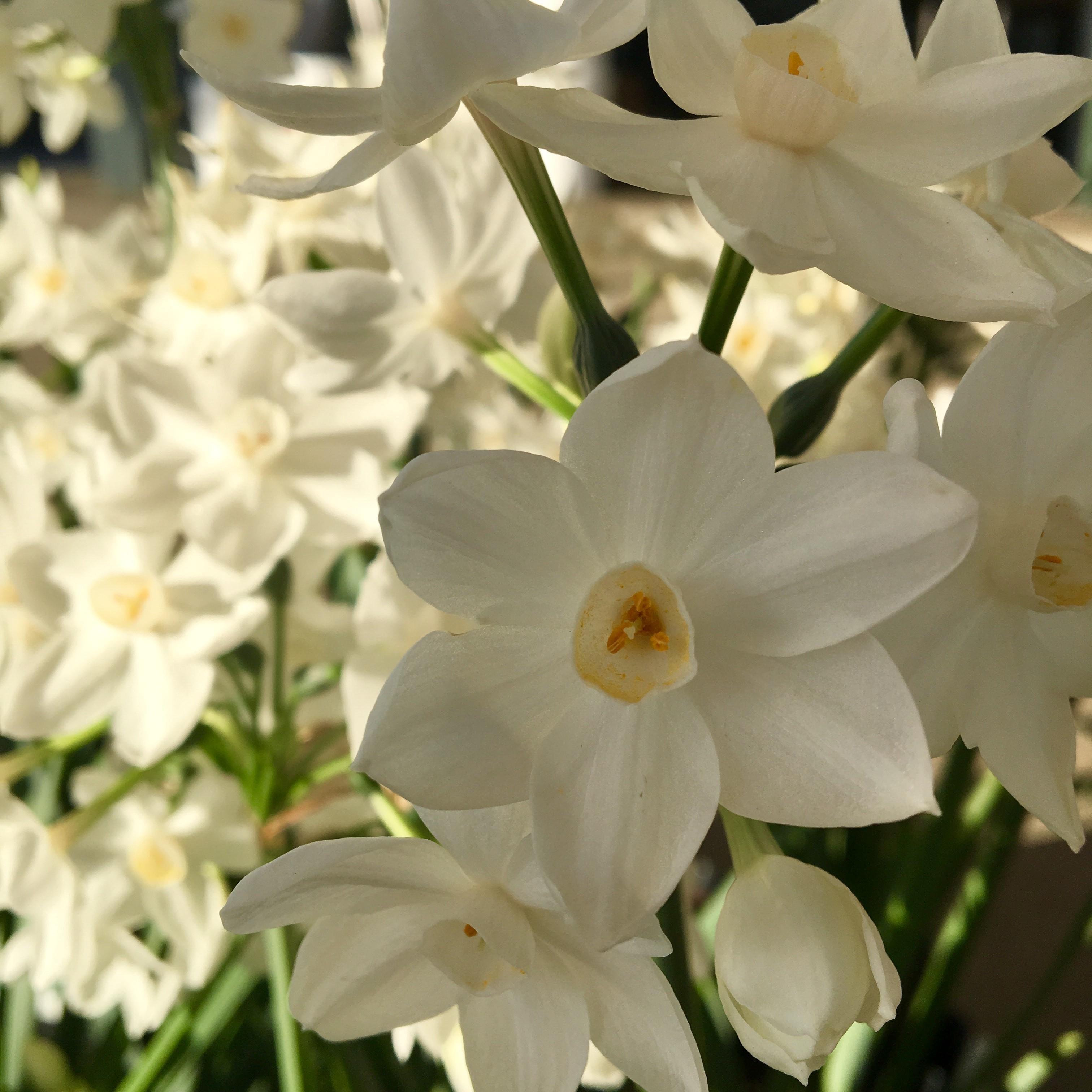 Narcissus image