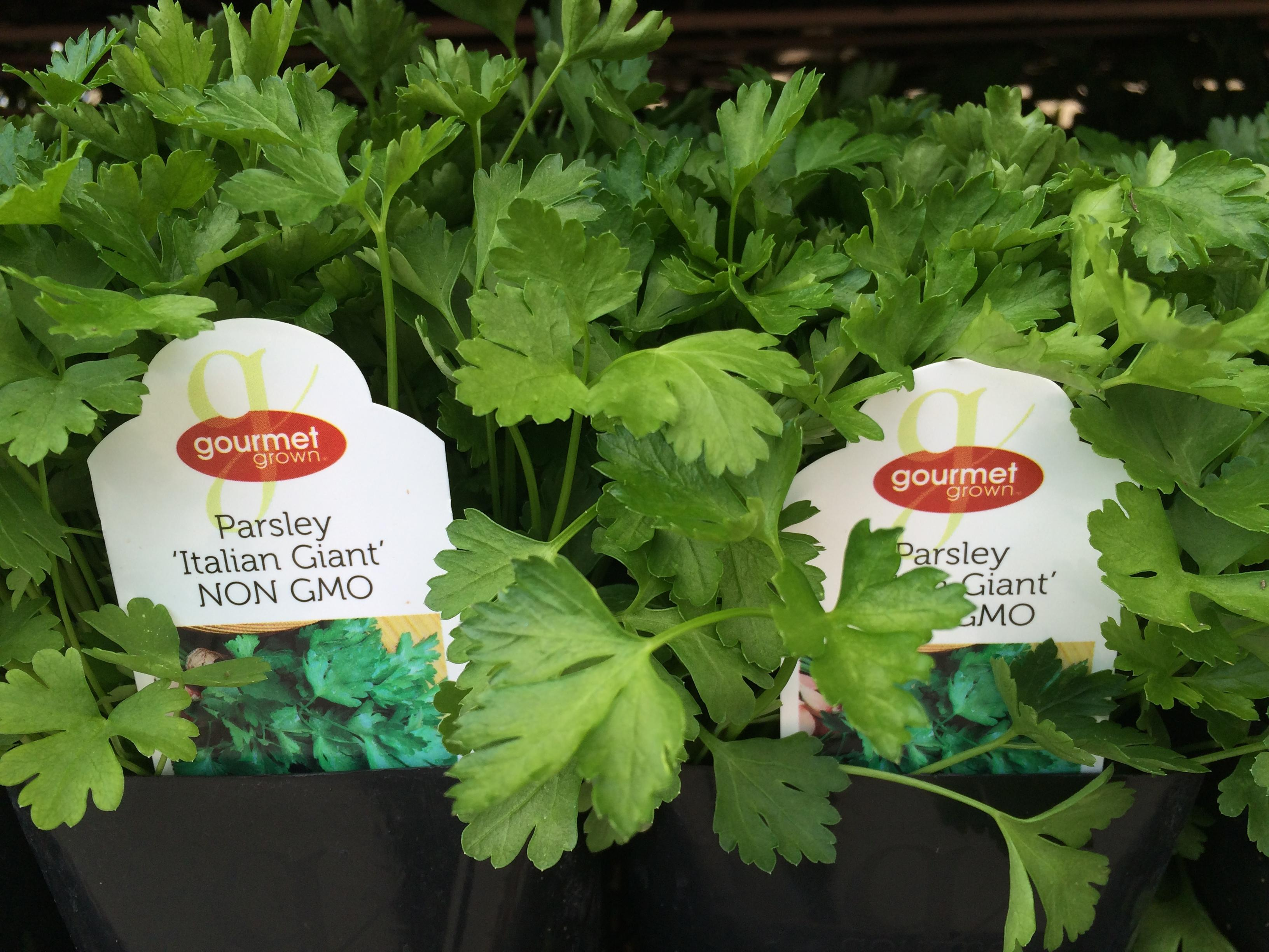 Parsley 'Italian Giant' image